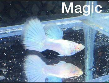 MagicAndamanPearl02.jpg